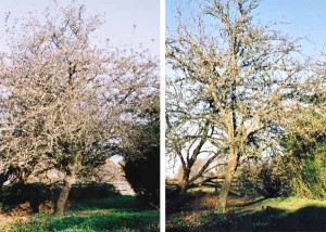 "LHS: ""Kings of the Pippins"" apple in Autumn 2013 before removal of dead wood. RHS: After removal of dead wood."