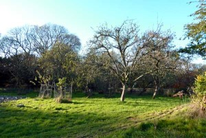 The orchard in the late Autumn. In the foreground are recently planted peach and apricot trees, protected by netting from our resident muntjak deer.