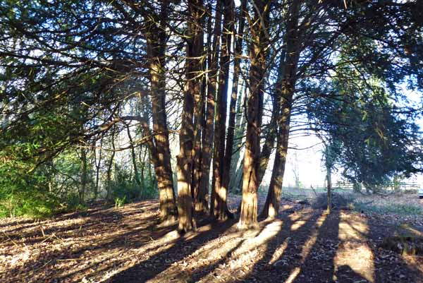 Yew tree circle of seven trees with one in the center in the Winter sunshine