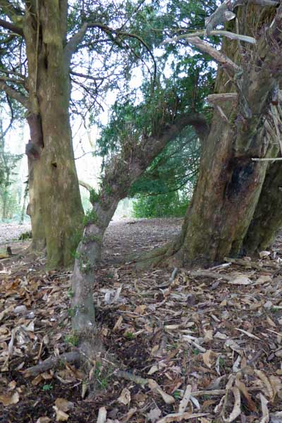 Old Yew tree regenerating by the lower branch bowing and touching the ground