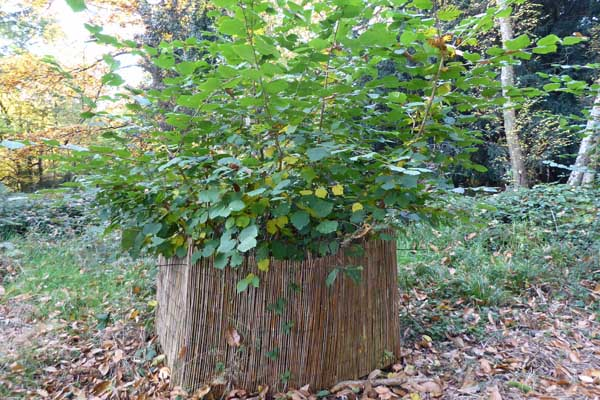 First year of growth of coppiced hazel which has been protected from browsing by deer