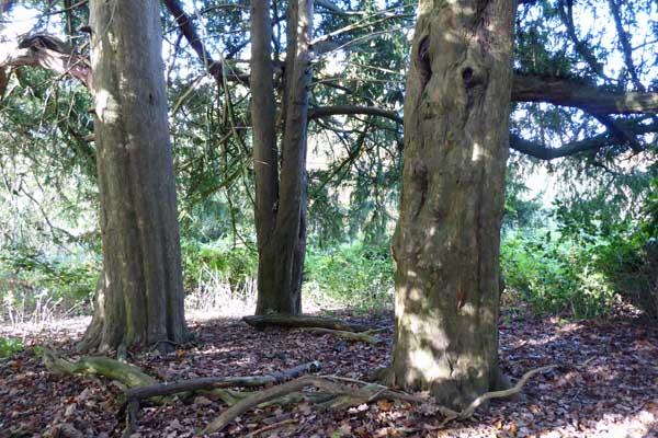 Triangular arrangement of three yew trees