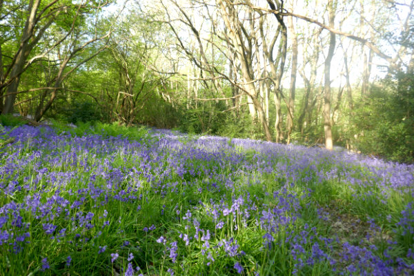 Bluebell Time at Sandhill Wood (7th May)