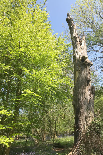 Dead beech tree with young beech trees growing along-side