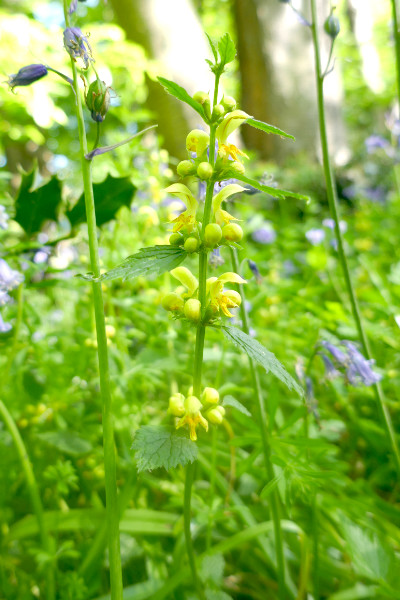 Yellow Archangel