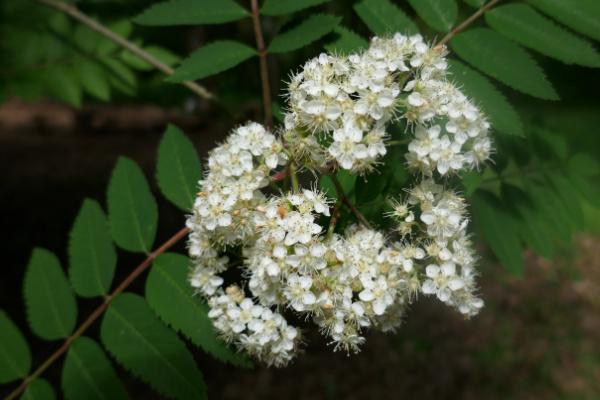 Rowan Flowers in May
