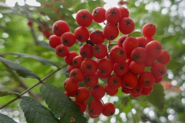 Rowan berries in August